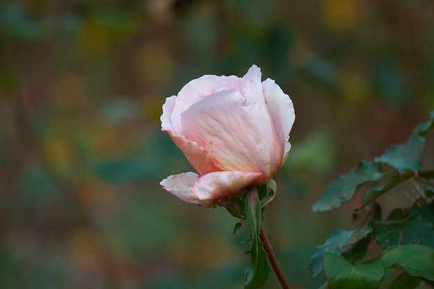 Romantic pink rose in garden