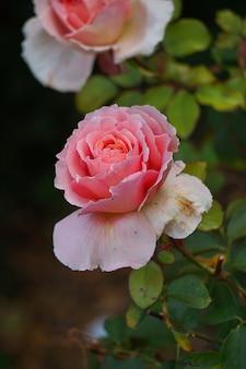 정원에서 로맨틱 핑크 로즈