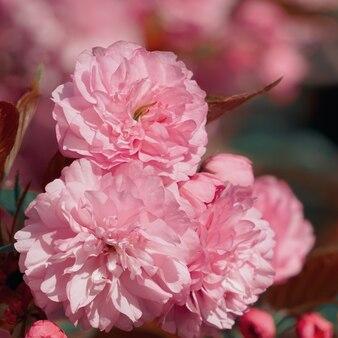 봄 시즌에 로맨틱 핑크 나무 꽃