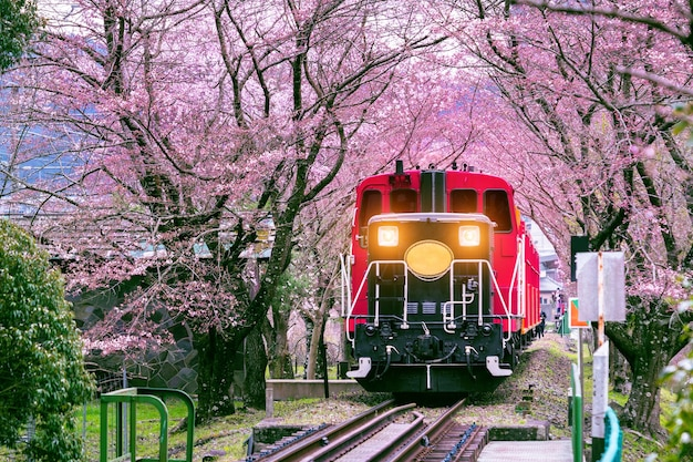 Romantic train runs through tunnel of cherry blossoms in kyoto, japan.