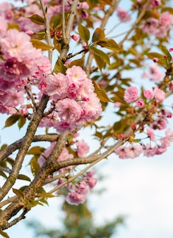 봄에 벚꽃이 만발한 낭만적인 결혼식이나 선물 카드 배경. 햇빛 아래 아름다운 부드러운 분홍색 꽃