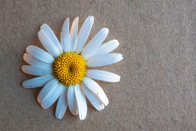 Romantic white daisy flower decoration in the nature
