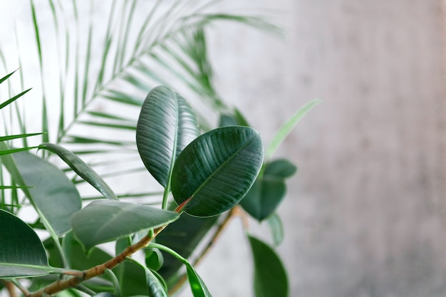 Room palm and ficus leaves on grey wall background. modern floral concept of home garden.