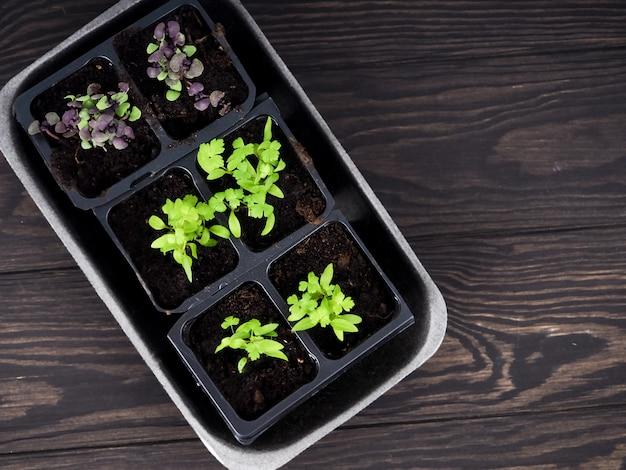 ポットの室内苗、泥炭ポットで育つ苗。