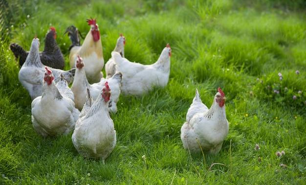 オンドリと鶏。放し飼いのコックと鶏。