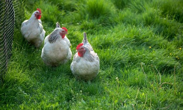 수탉과 닭. 무료 범위 수탉과 암탉.