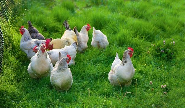 酉と鶏。フリーレンジコックと鶏。