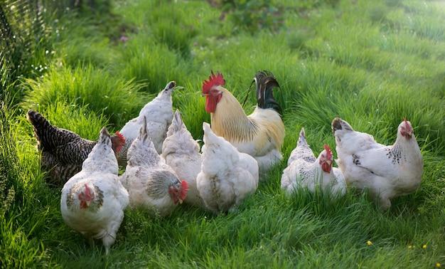 オンドリと鶏。フリーレンジコックと鶏。