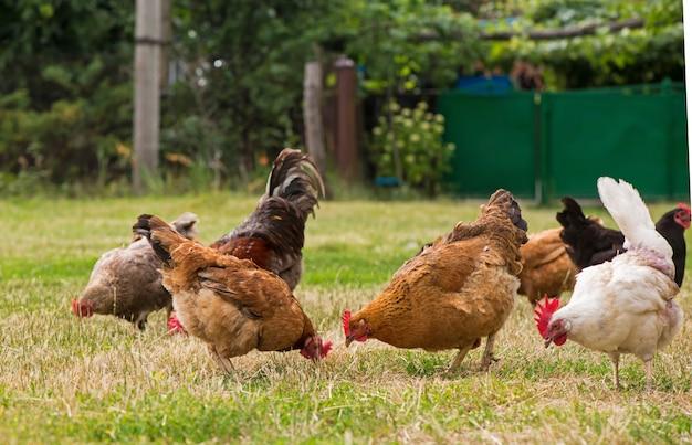 수탉과 닭 잔디에 방목.