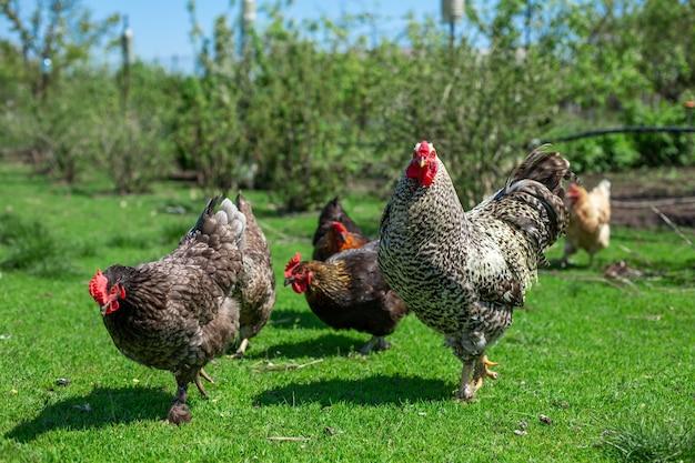 緑の草を食べているオンドリと鶏