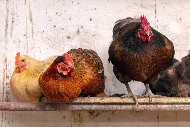 헛간에 있는 농장의 수탉과 닭을 닫습니다. 닭 사육