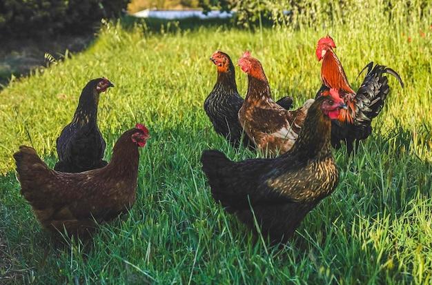Петух и бесплатные куры в поле на эко-ферме