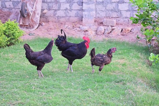 Петух и курица на ферме