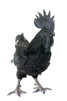 Rooster ayam cemani