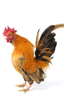 Петух курица бантам на белом