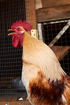 Rooster in a chicken coop on a farm.