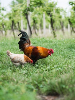Rooster and chicken pecking grass in the field