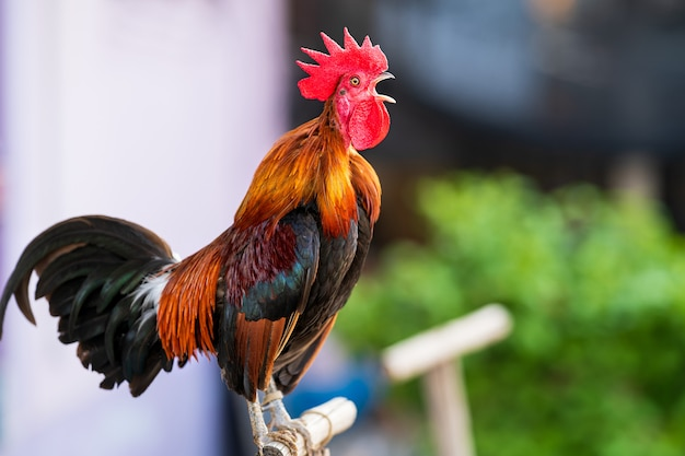 Rooster crowing in the morning