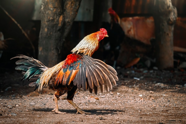 Rooster at a farm with yard