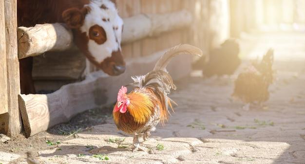 Петух на ферме концепция выращивания петуха и быка на свободном выгуле