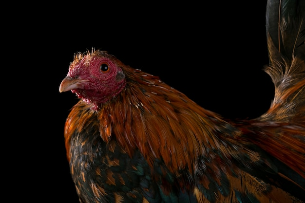 Rooster isolated in black background