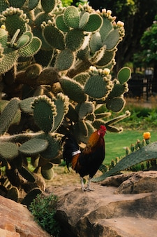 Rooster near green cactus plant