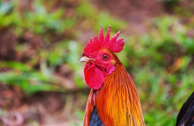ハワイのオンドリ