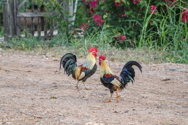 Rooster walk in the backyard of farm