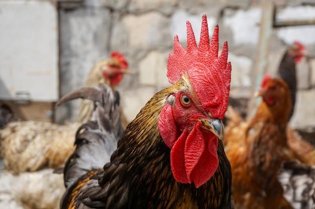 수탉은 여름날 농장에서 닭을 지켜보고 있습니다.
