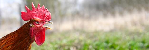 Петух с коричневым оперением кричит на фоне природы на открытом воздухе.