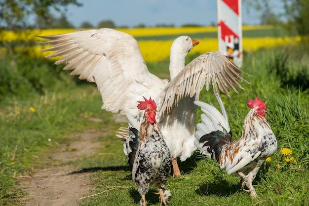 Петухи и белый гусь гуляют по проселочной дороге