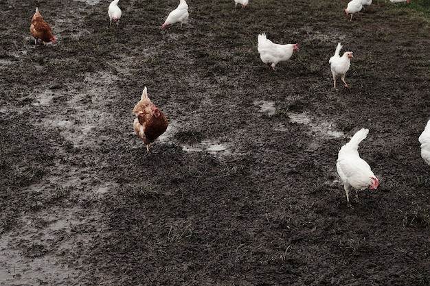 Roosters and hens in a farm on a mud