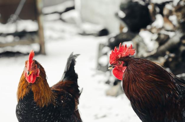 당신의 환경에 닭이있는 마을의 수탉 프리미엄 사진