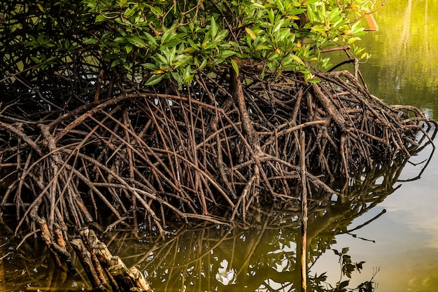 Root of the mangrove tree forest in water