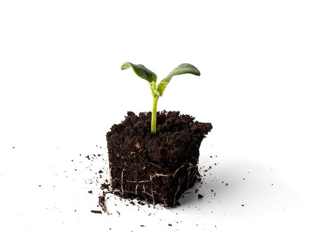 Корневая система саженцев кабачка или тыквы с крупным планом торфа. концепция производства биопродуктов в экологически чистой среде.