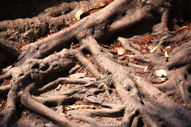 Root of the tree.