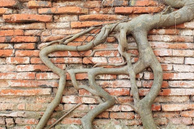 루트 나무 덮여 벽돌 벽, 태국