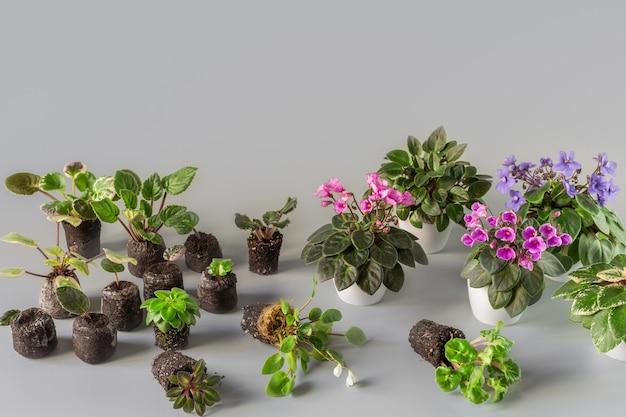 セントポーリアの発根。観葉植物の移植。シートによる複製。栄養繁殖