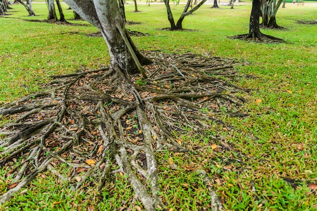 The roots of the banyan tree