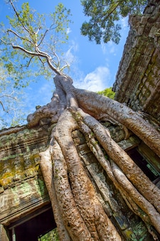 Roots of giant tree in the angkor wat in cambodia