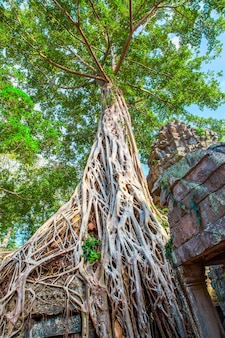 Roots of giant tree in ta phrom temple in angkor wat in cambodia