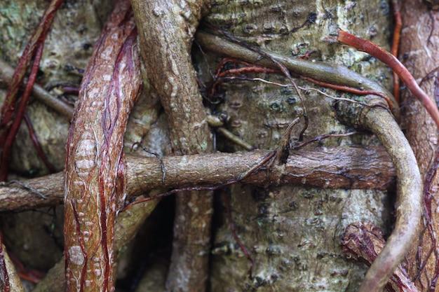 ガジュマルの木の根がクローズアップ