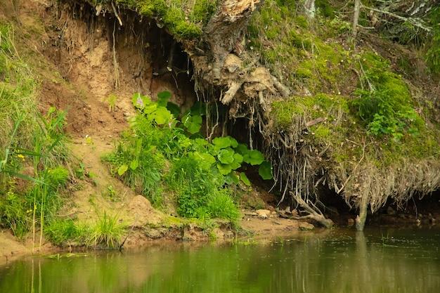 川岸の力強い古い木の根、夏の森の風景。
