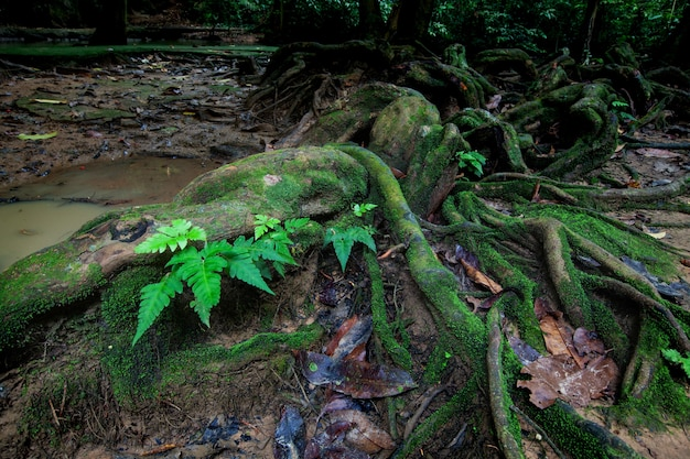 Корни большого дерева в тропическом лесу с мхом и ручьем.