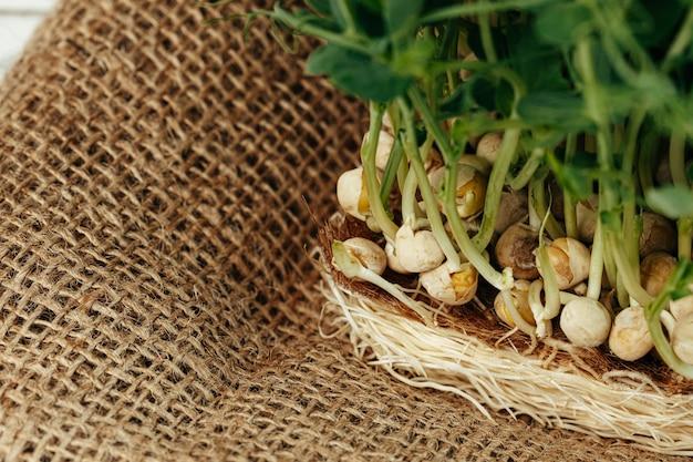 Корни микро зеленого растения крупным планом