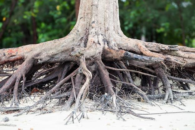 海岸の海水が浸食されて死んでしまった木の根。