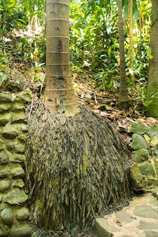 The roots of the palm tree in the national park of the island of mauritius