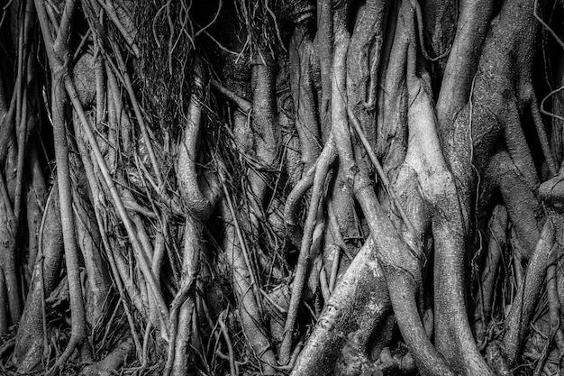 The roots and stems of the banyan tree are densely packed, looking cluttered as the surface of the wood, photographing black and white.