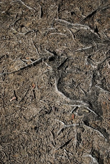 The roots of the trees are sticking out of the ground sandy soil in the forest