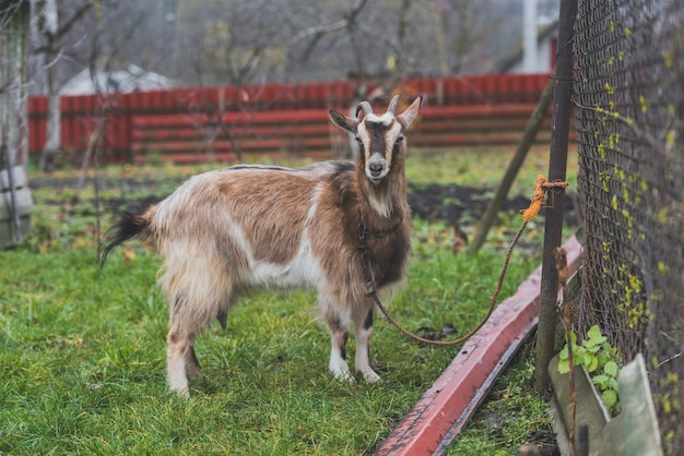 Roped goat on farm